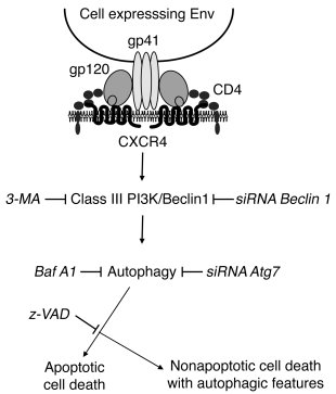 A model for Env-induced signaling cell death cascade. Autophagy is speci...