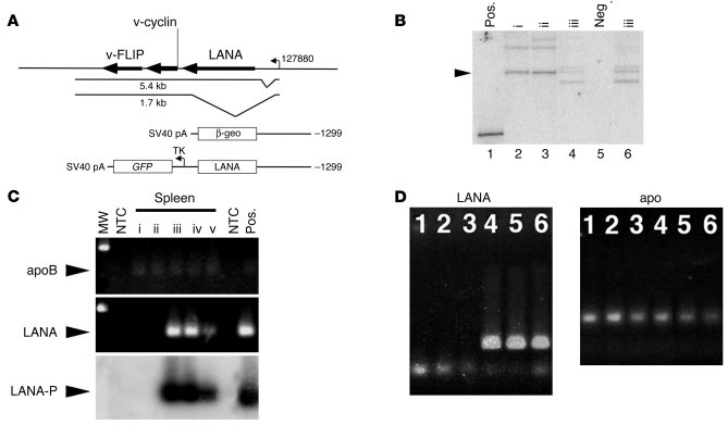 Development of LANA transgenic mice. (A) The LANA transcription locus (1...