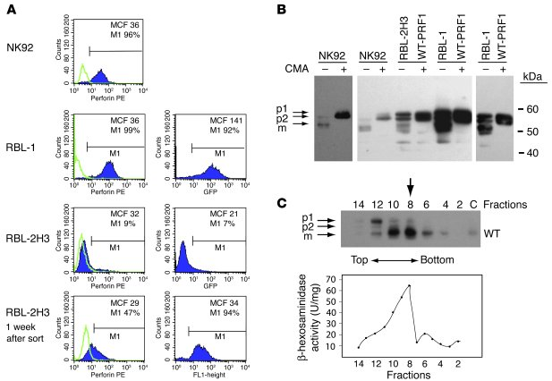 Expression of human perforin in RBL-1 and RBL-2H3 cells following retrov...