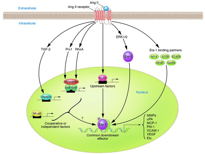 Mechanisms of Ang II_dependent activation of transcriptional programs th...