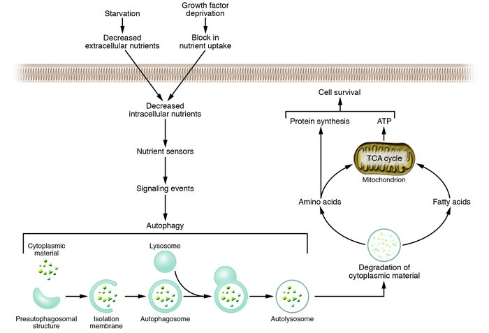 The autophagy pathway and its role in cellular adaptation to nutrient de...