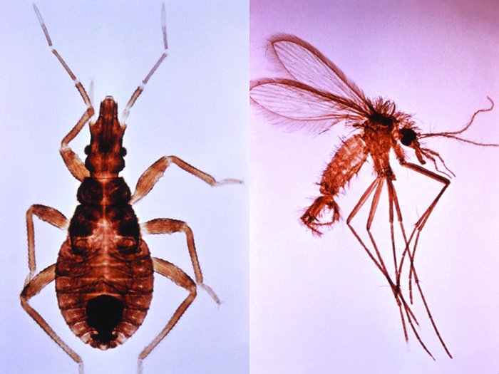 A triatomine bug (left), a vector for Chagas disease; and a sand fly (ri...