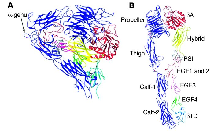 Ribbon diagram of the structure of the extracellular portion of αvβ3. (A...