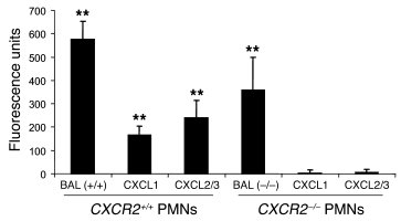 Pulmonary microvascular permeability was assessed in CXCR2+/+, CXCR2–/–,...