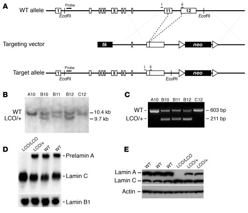 Production of a mutant Lmna allele, LmnaLCO. (A) A sequence-replacement ...