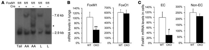 Mouse model of endothelial cell–restricted deletion of FoxM1.           ...