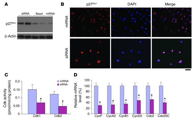 FoxM1 regulates expression of a network of genes essential for cell cycl...