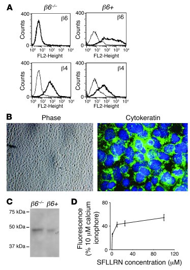 IMLE cells express epithelial cell markers and functional PAR1. (A) β6 a...