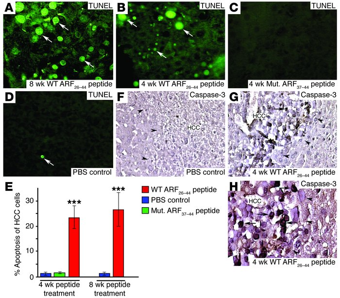 WT ARF26–44 peptide treatment induces selective apoptosis of mouse HCC. ...