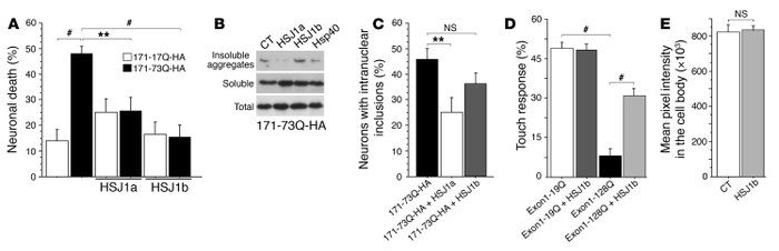 HSJ1 proteins and polyQ-huntingtin–induced toxicity and dysfunction. (A)...