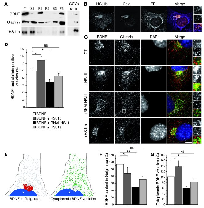 HSJ1b increases BDNF processing from the Golgi to the cytoplasm. (A) BDN...