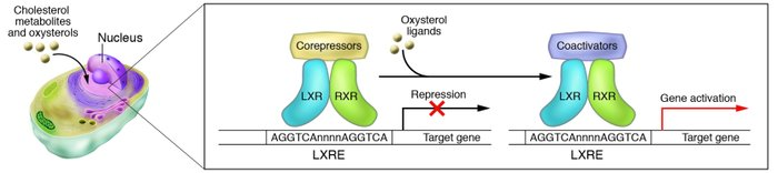 LXRs are cholesterol-sensing transcription factors. Within the nucleus, ...