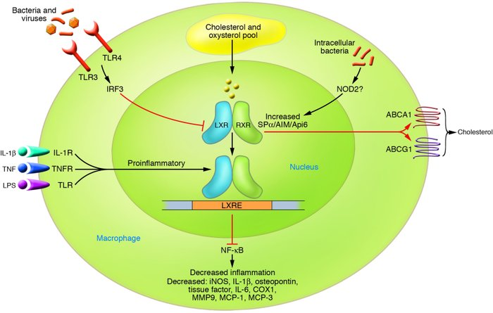 Integration of lipid metabolic and inflammatory signaling in macrophages...