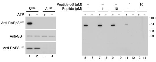 Characterization of phosphomotif-specific antibody ta...