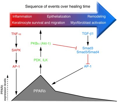 Dynamic control of PPARδ expression after skin injury. Left: TNF-α relea...