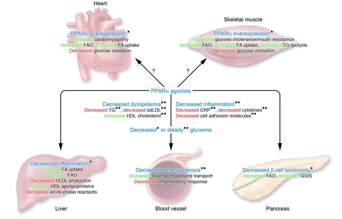 Metabolic actions of PPARα and potential pathophysiological consequences...