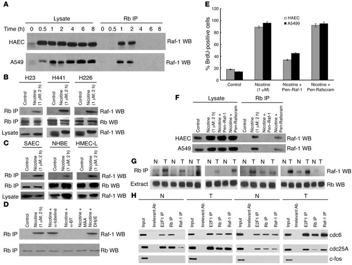 Rb–Raf-1 interaction is induced by nicotine in cultured cells and is ele...