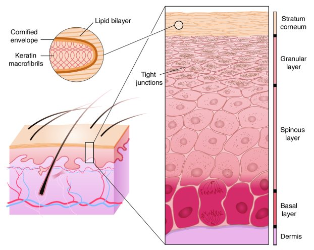 Schematic diagram of the stages of epidermal differentiation, resulting ...