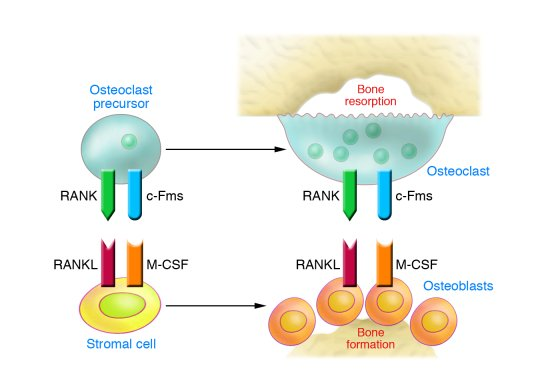 Cells and cytokines responsible for physiological OC renewal. OC precurs...