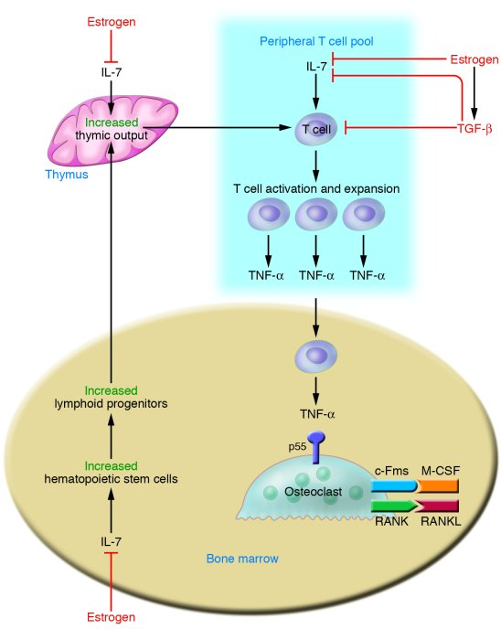 Estrogen suppresses T cell TNF production by regulating T cell different...