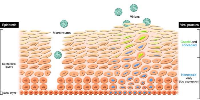 the papillomavirus life cycle