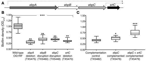 Biofilm formation and the ebpA–srtC operon.                 (A) Illustra...