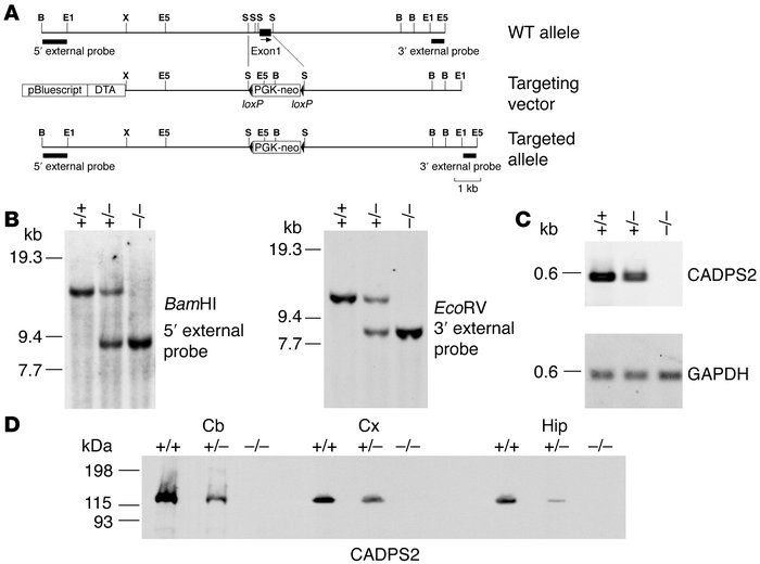 Generation of Cadps2–/– mice.                 (A) Maps of the Cadps2 gen...