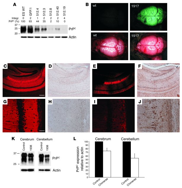 Silencing of PrPC in chimeric mice derived from LVsh512-infected ES cell...