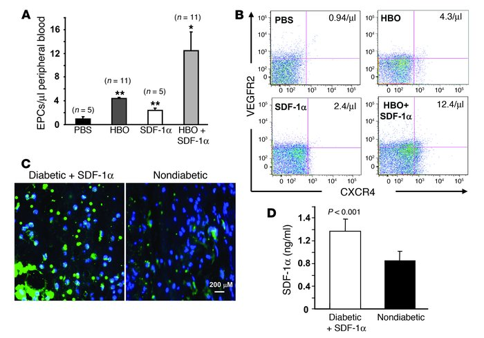 Synergistic enhancement of EPC mobilization by HBO and SDF-1α in a murin...