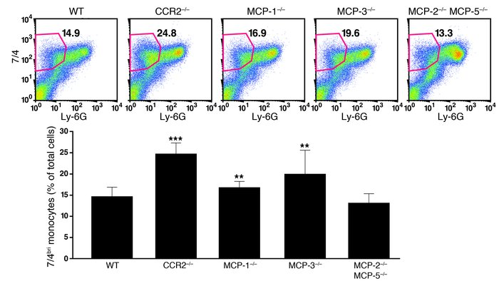 Monocyte retention in the bone marrow in MCP-1–/– and MCP-3–/– mice.    ...