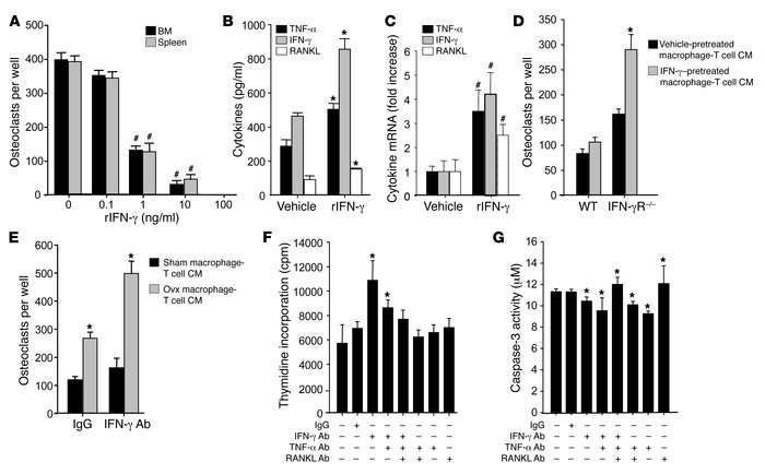 IFN-γ directly suppresses and indirectly stimulates osteoclastogenesis i...