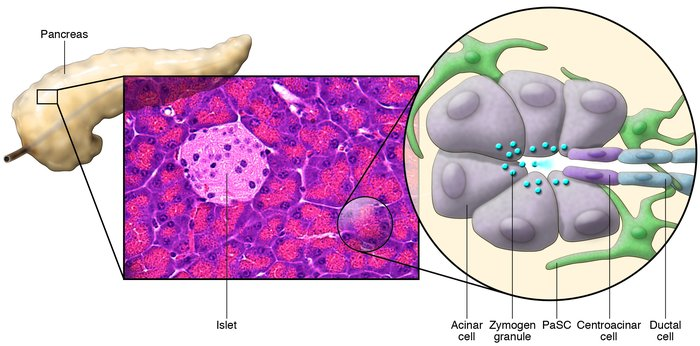 Schematic of the cellular components of the exocrine pancreas. The pancr...