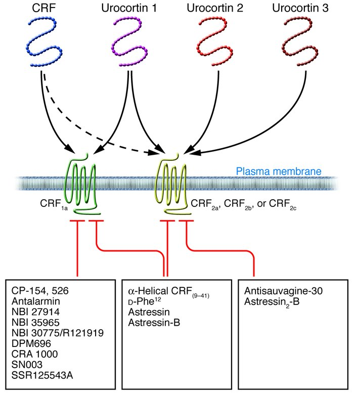 Overview of the family of peptides related to CRF and their receptors an...