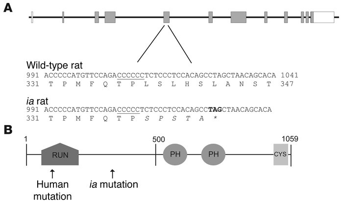 The Plekhm1 gene and protein. (A) Genomic structure of the rat plekhm1 g...