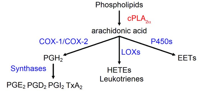 Arachidonic cascade initiated by cPLA2α.     P450, cytochrome P450; LOX,...