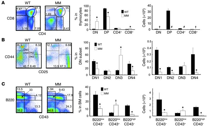 T and B cell development in MM mice is inhibited at receptor gene rearra...