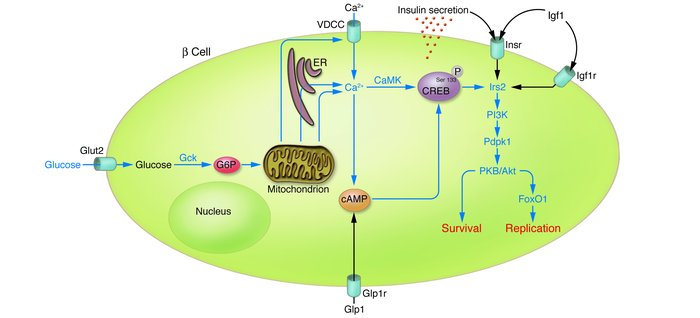 The pathway from glucose metabolism to increased β cell mass through enh...