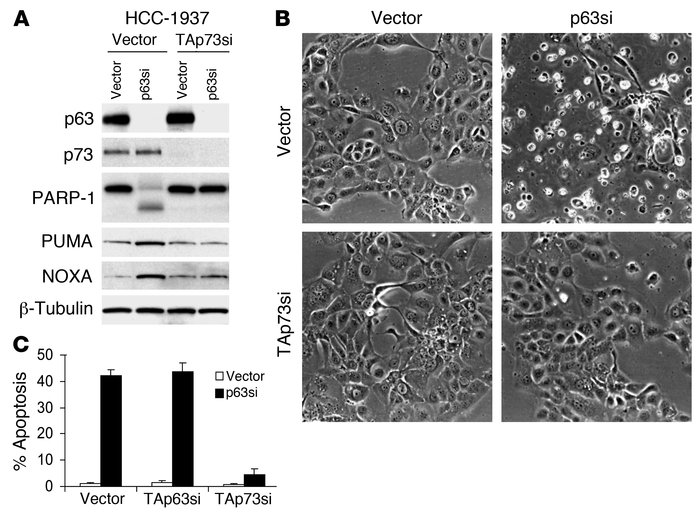 Survival of breast cancer cells is promoted by p63 through repression of...
