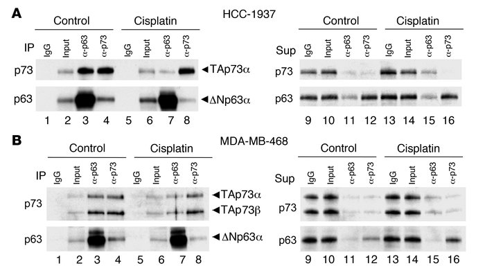 Cisplatin induces dissociation of the ΔNp63α/TAp73 complex. (A) Quantita...