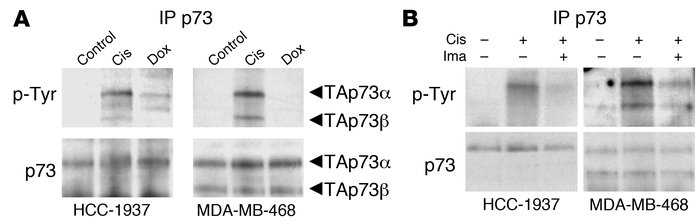 Cisplatin treatment specifically induces c-Abl–dependent p73 phosphoryla...