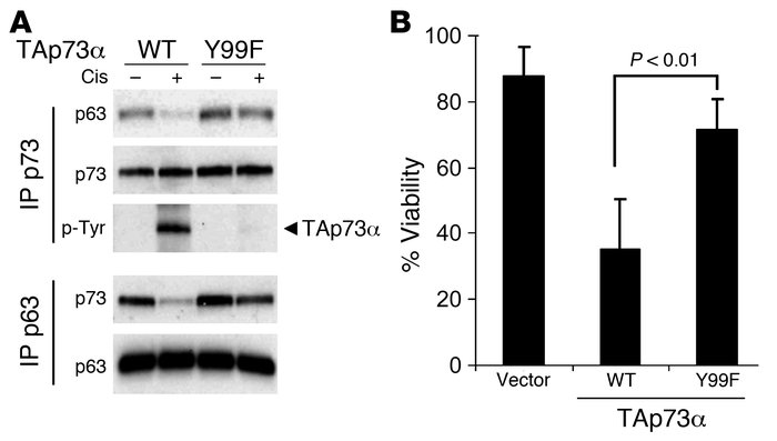 TAp73 phosphorylation at Y99 is required for cisplatin-induced ΔNp63α/TA...