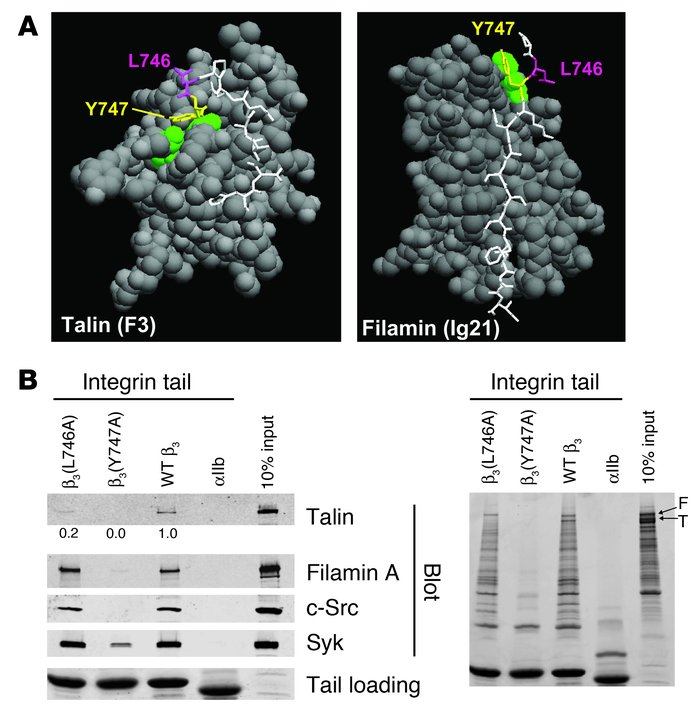Structure-based mutagenesis of the β3 integrin cytoplasmic domain.      ...
