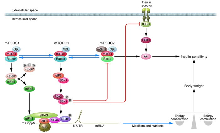 A model of the regulation of body weight and insulin sensitivity by mTOR...