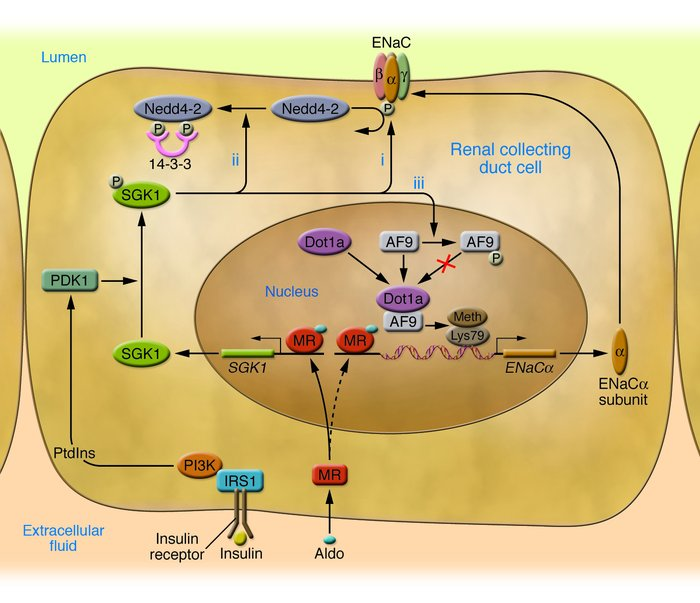 SGK1 acts at multiple levels to regulate ENaC-mediated Na+ transport in ...