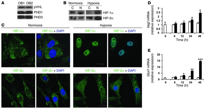 Primary mouse osteoblasts express components of the HIFα pathway. (A) Ca...