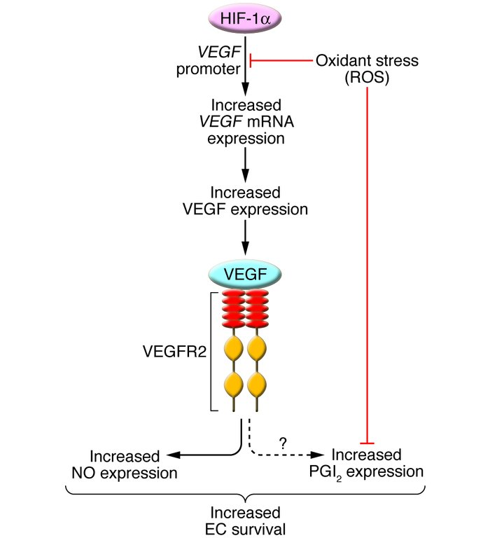One pathway likely involved in lung cell structure maintenance. VEGF gen...