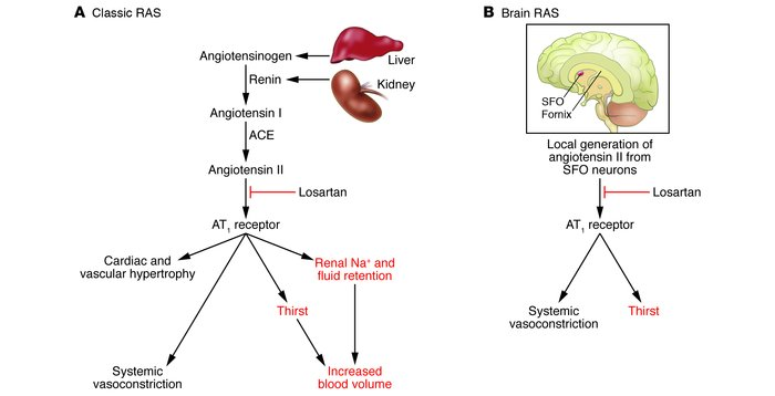 RAS signaling. (A) Classic RAS. Angiotensinogen is excreted from the liv...