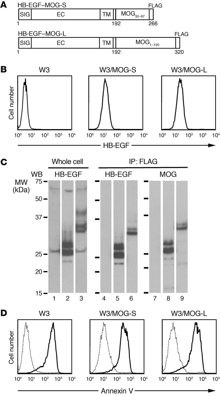 Expression of HB-EGF–MOG fusion proteins in W3/MOG cells. (A) Schematic ...