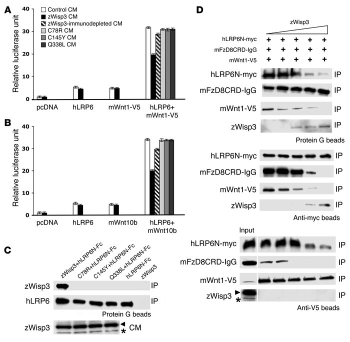 zWisp3 physically and biologically interacts with the Wnt coreceptors LR...