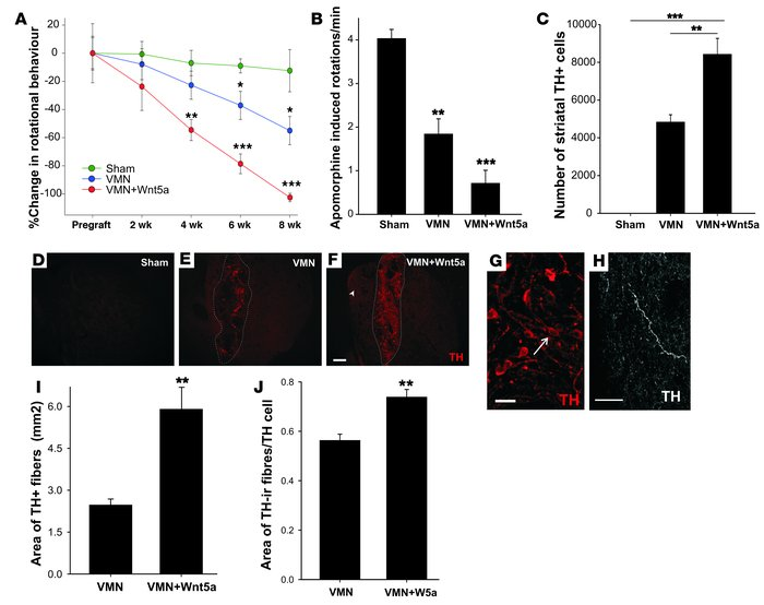 Transplantation of Wnt5a-overexpressing VMNs induces behavioral and cell...